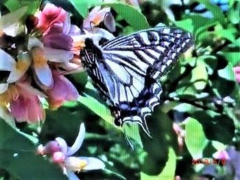 レモンの花とアゲハ蝶.jpg