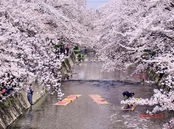 五条川桜.jpg