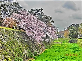 名古屋城桜.jpg