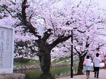 彦根城外堀桜.jpg
