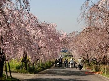 東谷山桜.jpg