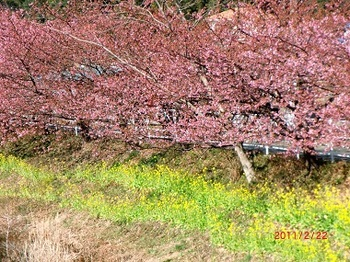 河津桜と菜の花.jpg