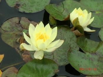菱の花1.jpg